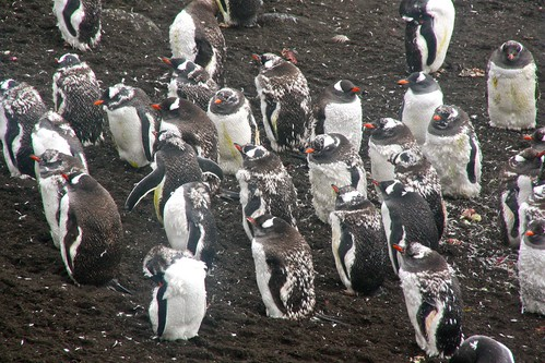 gentoo penguins moulting by chogori20