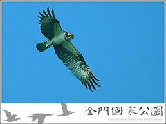 魚鷹-01