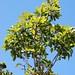 Cheirodendron trigynum subsp. helleri