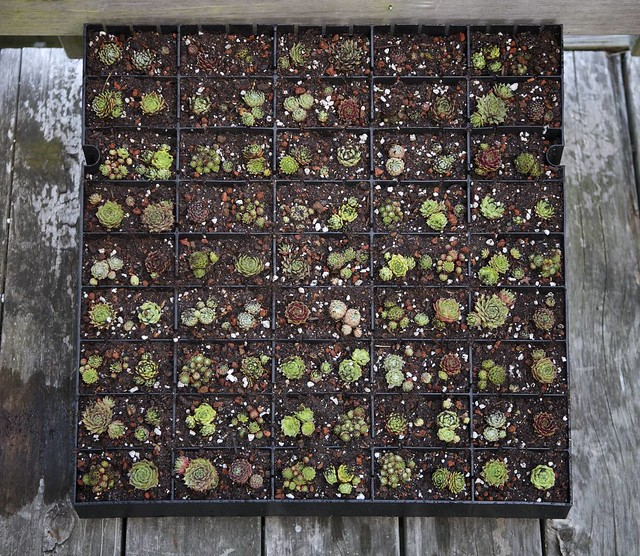 Sempervivum Vertical Garden