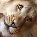 Ariel - Leão de Deus - Maringá - Pr / Ago2010 (meu leão amado - LUTO em 27/07/11) by Neu Pinheiro