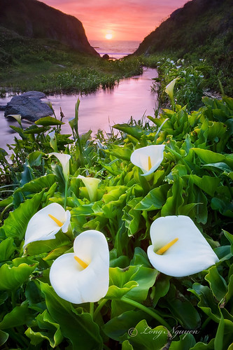 california sunset bigsur wildflowers dreamcatcher callalilies canon5dmarkii