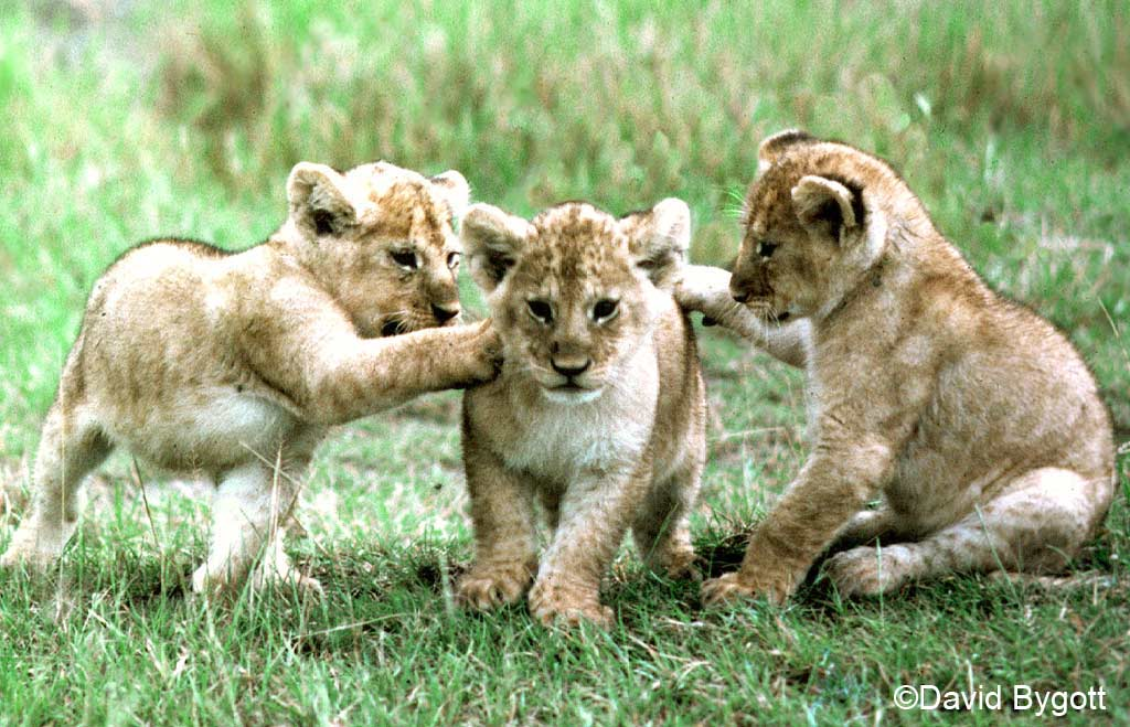 Panthera leo cubs