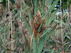 flower(0.0), grass(0.0), plant stem(0.0), prairie(1.0), agriculture(1.0), leaf(1.0), tree(1.0), plant(1.0), macro photography(1.0), flora(1.0), phragmites(1.0), crop(1.0),