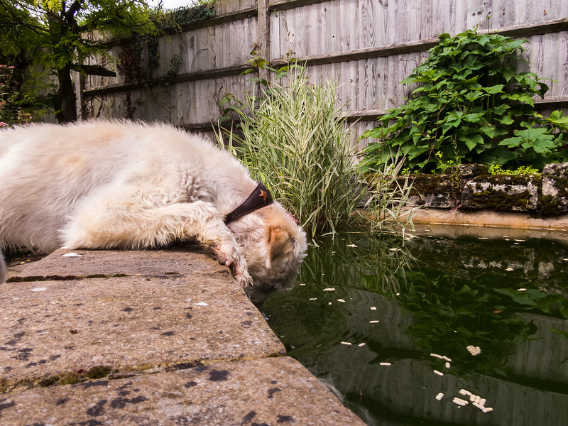 Not only does Teddy drink the pond water, but now he's eating the fish food too!