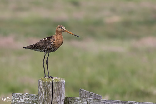 Grutto (Black-tailed Godwit)