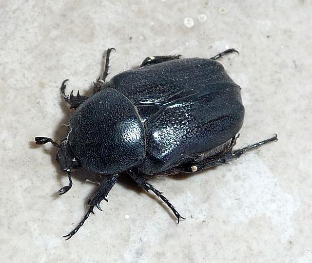Cetoniidae