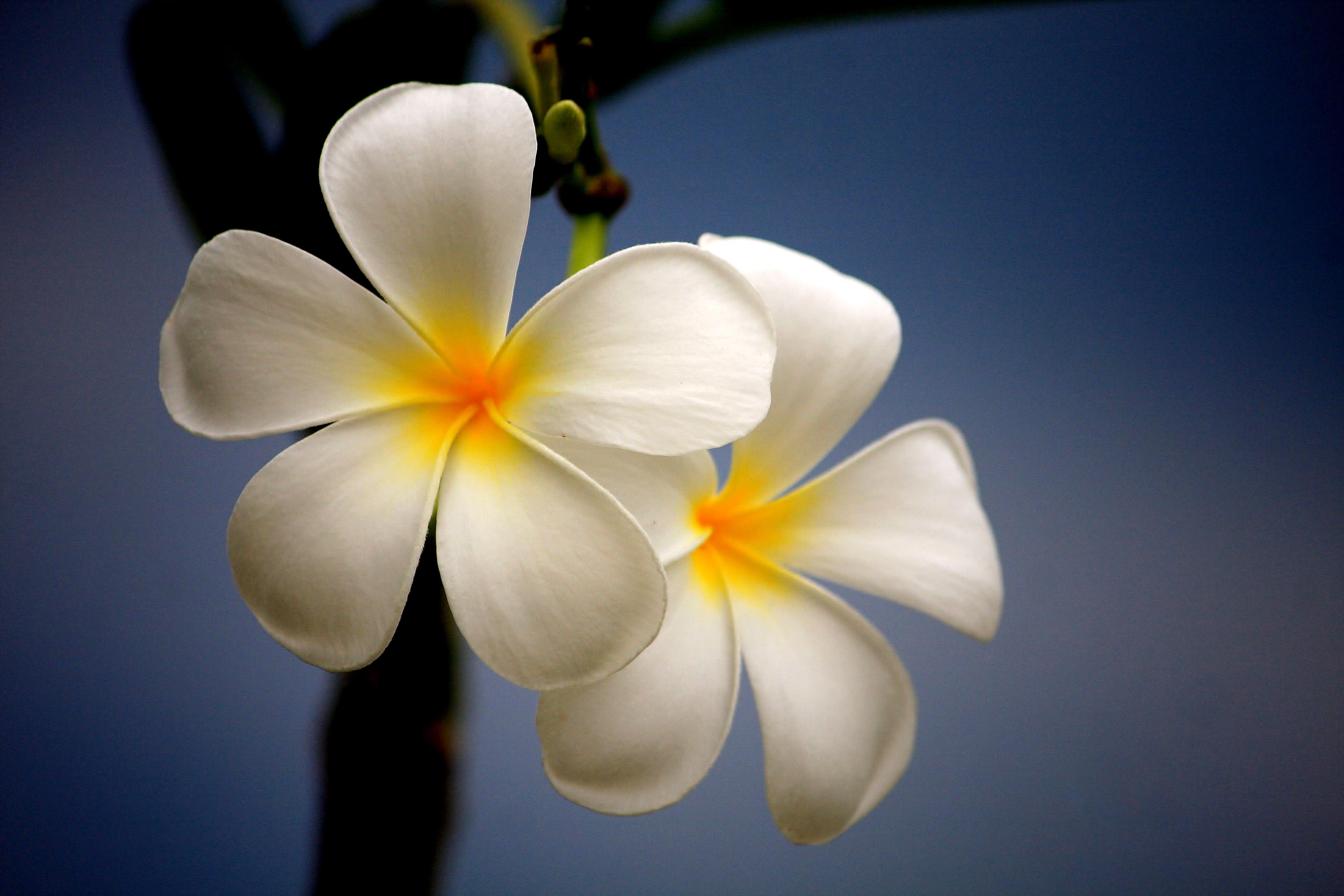 Thai Flowers Flickr Photo Sharing