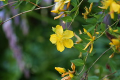 flower, yellow, plant, macro photography, wildflower, flora, produce, rose of sharon,