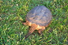 animal, turtle, grass, box turtle, reptile, fauna, common snapping turtle, chelydridae, wildlife, tortoise,
