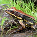 fungoid frog - Photo (c) Vishal Bhave, some rights reserved (CC BY-NC-SA)