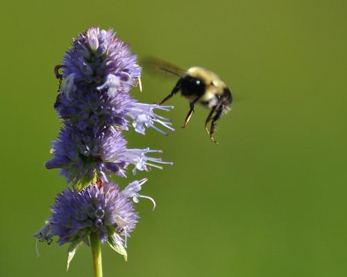 bees bee bumblebee hyssop tcaap ahats twincitiesarmyammunitionplant mully410 tcaapwva ardenhillsarmytrainingsite twincitiesarmyammunitionplantwildlifeviewingarea