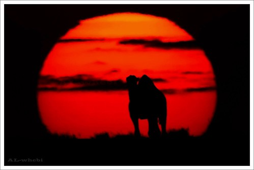 canon d50 desert sunsets camel saudi arabia ksa rashed the 100400 anawesomeshot