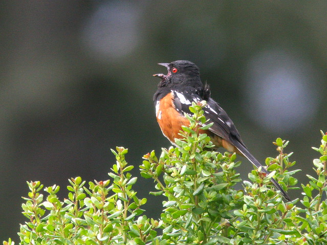 Spotted Towhee 2-20100624