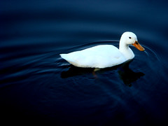 Duck on blue