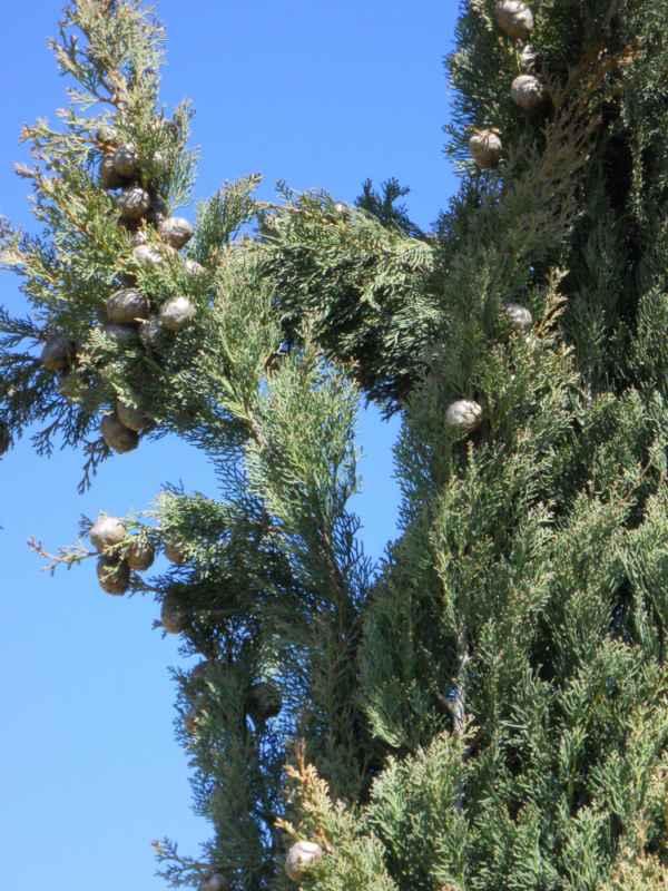 Cupressus sempervirens 'Stricta' detalle v 2