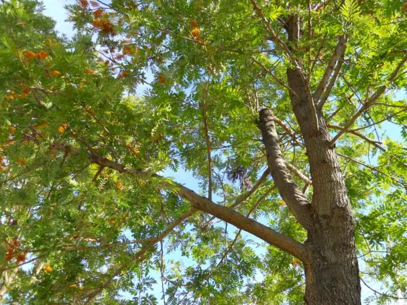 Grevillea robusta copa 5