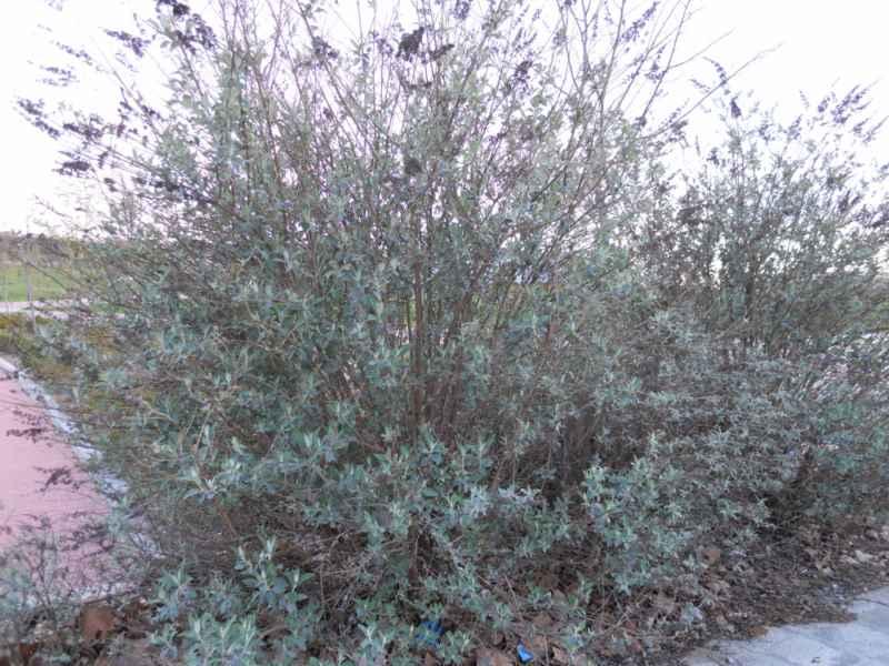 Buddleja davidii arbusto 3