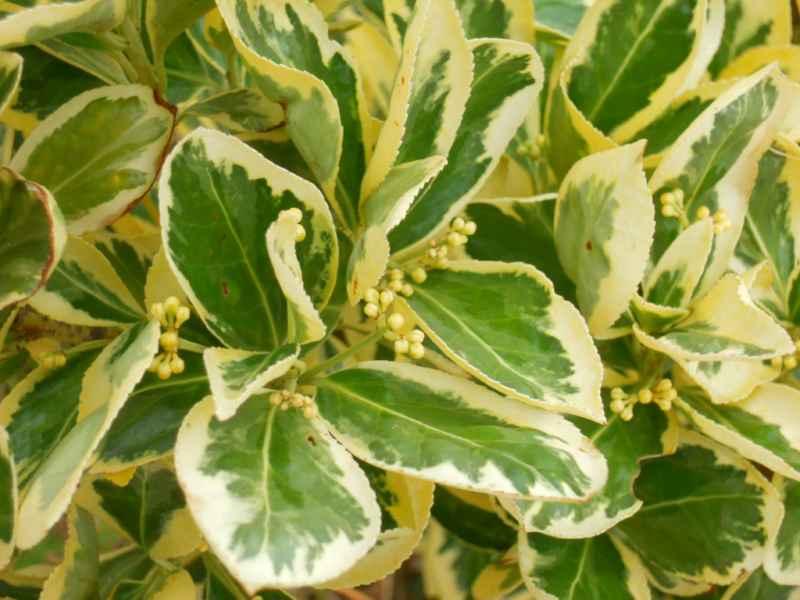 Euonymus japonicus 'Aureomarginatus' 3