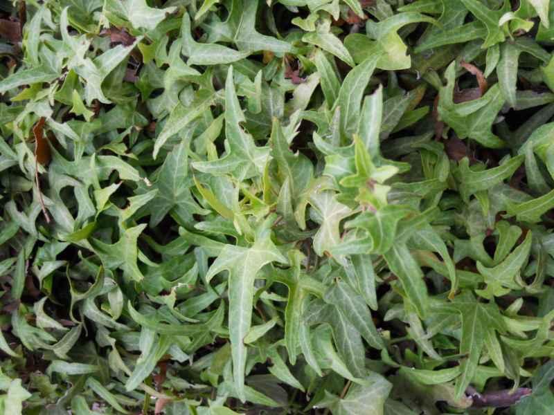 Hedera helix 'Sagittifolia' 2