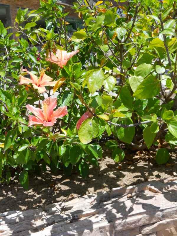 Hibiscus rosa sinensis 'Annie Wood' v 1