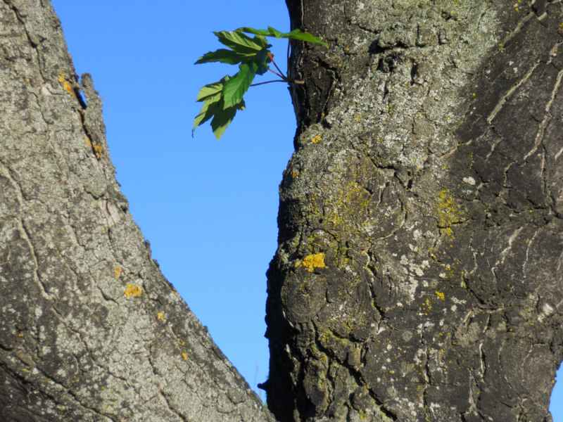 Acer platanoides.. tronco 5