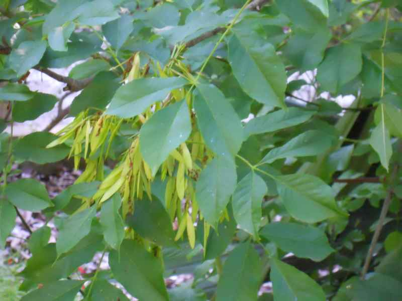 Fraxinus ornus hojas 3