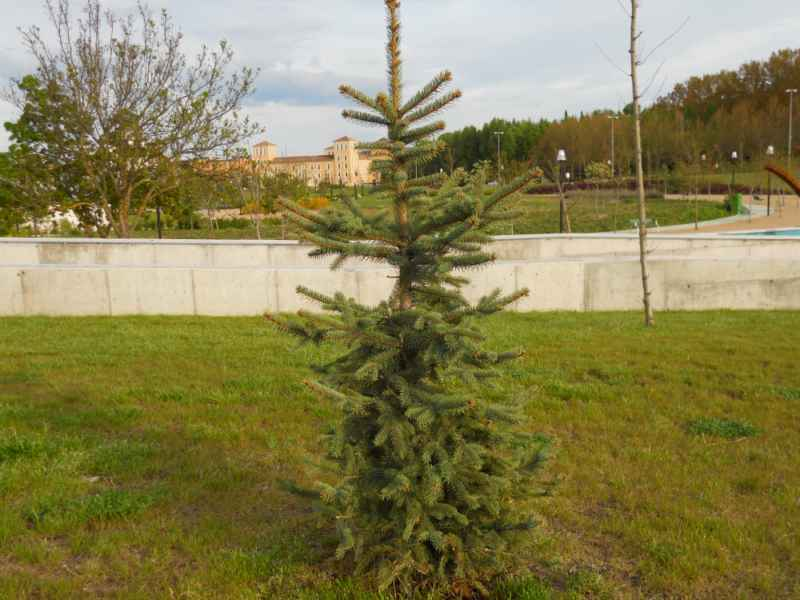 Picea pungens 3