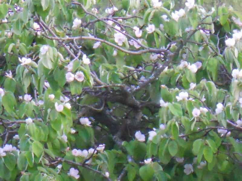 Prunus armenica 2