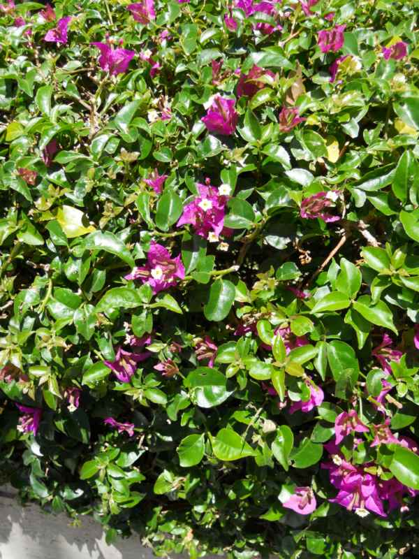 Bougainvillea hybrida 'Barbara Karst' v 1