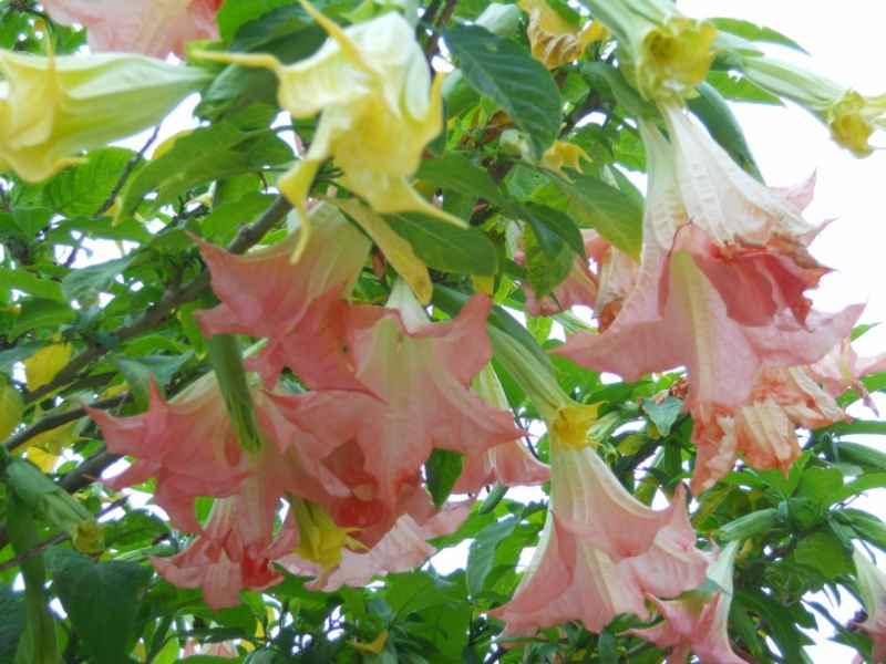 Datura arborea 3