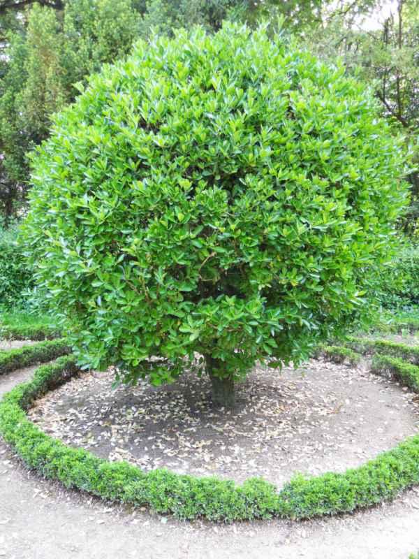Euonymus japonicus topiaria v 1