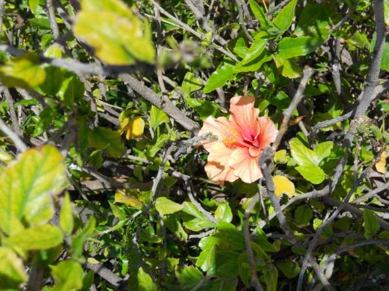 Hibiscus rosa sinensis 1