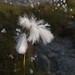 Small photo of Cottongrass