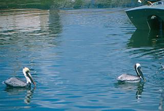 Fort Pierce - Pelicans in Harbor