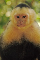 tufted capuchin(0.0), squirrel monkey(0.0), japanese macaque(0.0), macaque(0.0), beak(0.0), nose(1.0), animal(1.0), monkey(1.0), mammal(1.0), capuchin monkey(1.0), langur(1.0), fauna(1.0), white-headed capuchin(1.0), old world monkey(1.0), new world monkey(1.0),