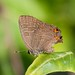 striped hairstreak - Photo (c) Jason Forbes, some rights reserved (CC BY-NC-ND)