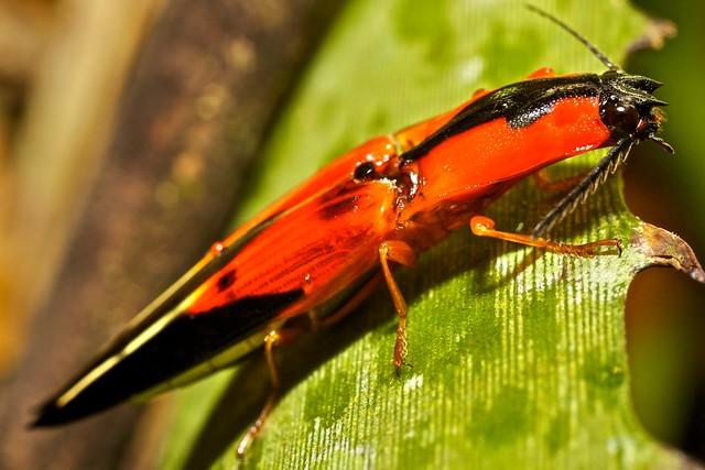 Colourful click beetle (Semiotus sp-) (1)