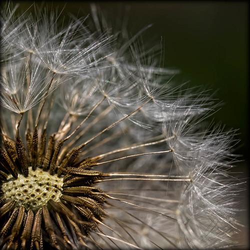 brown white flora seed dandelion silky
