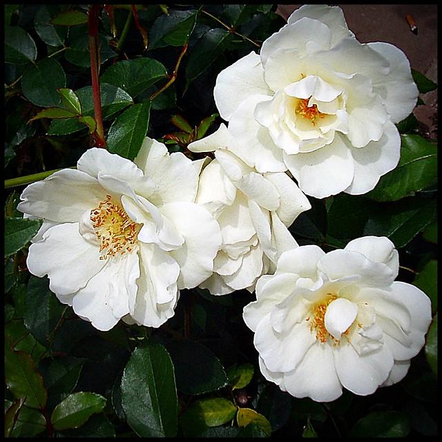 Rositas blancas