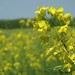Rapeseed - Photo (c) Dag Terje Filip Endresen, some rights reserved (CC BY)