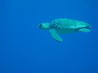 θαλάσσια χελώνα - Sea Turtle Caretta Caretta