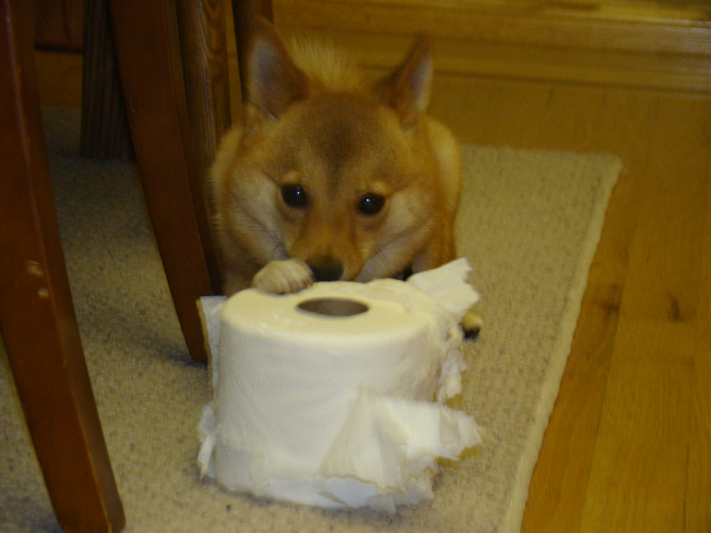 taro chewing on a roll of toilet paper