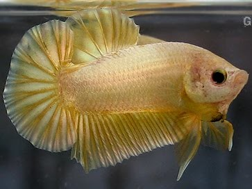 Giant betta fish yellow gold flickr photo sharing for Largest betta fish