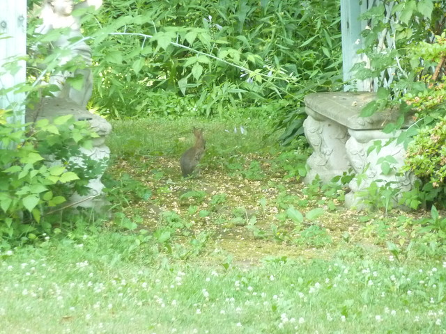 Wild Backyard Rabbits : Wild Rabbits  Wild bunnies in our backyard  By bunnygoth  Flickr