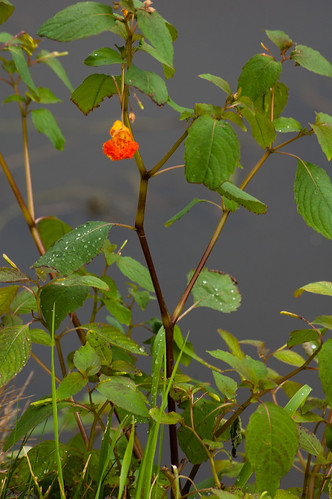 Orange himalayan balsam