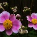 Pink Japanese Anemone's by j man.