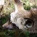 Bat-eared Fox by Delphi Bulder