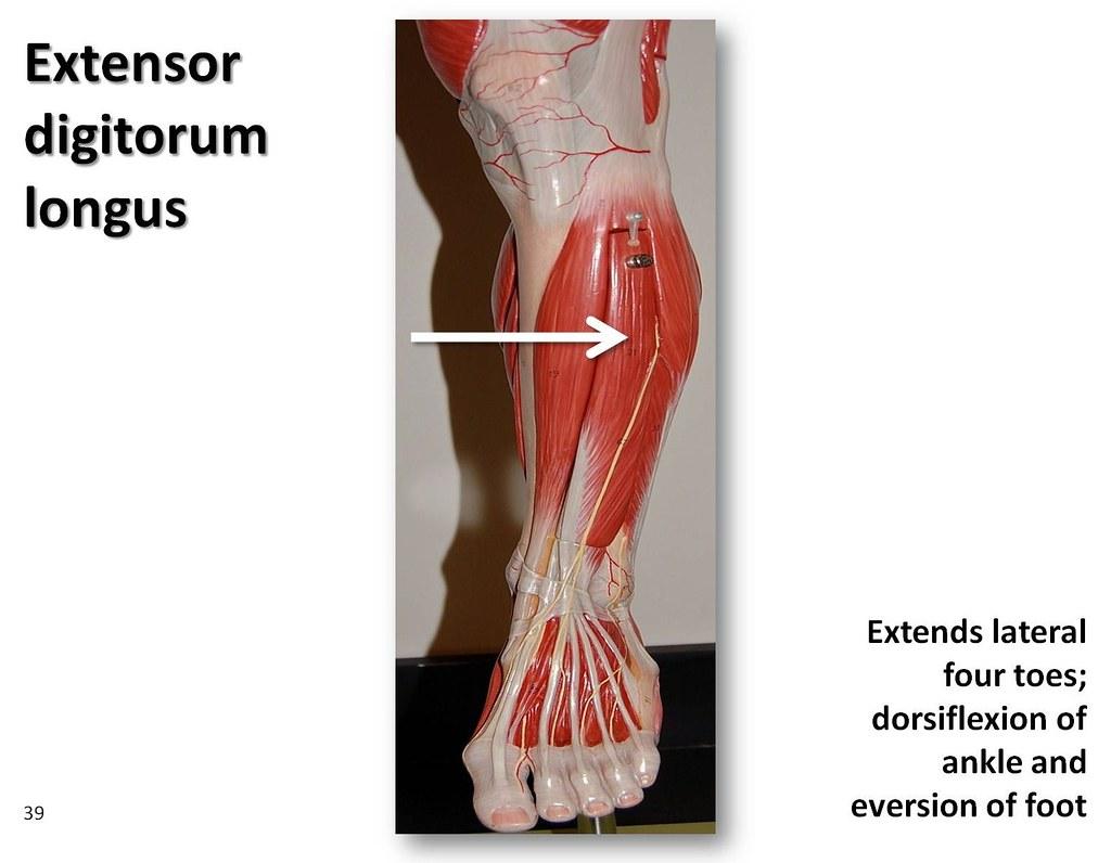 Extensor digitorum longus - Muscles of the Lower Extremity Anatomy    Extensor Digitorum Muscle