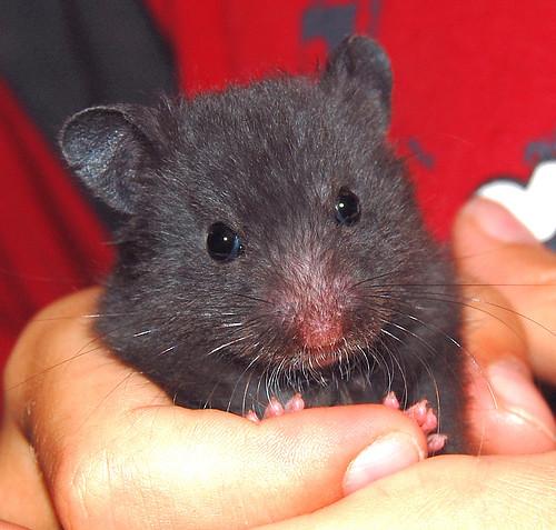 mature hamster
